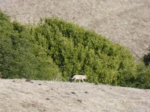 Wolf at Wildcat Canyon, near Richmond, CA.