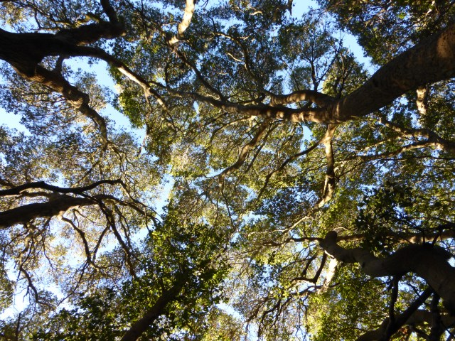 Canopy mazes at Muir Woods
