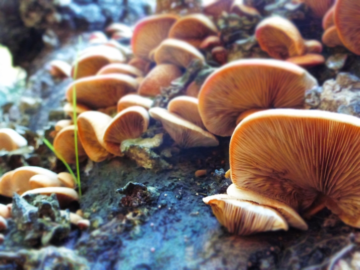 Pleurotus ostreatus, or Oyster mushroom