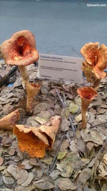 Scaly chanterelle specimens at the MSSF